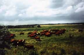 Marion Penner Bancroft, On the road to Sagradowka, red cows introduced to the region by Mennonites , 1999